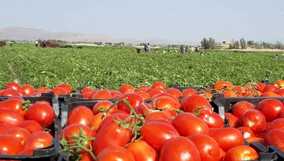 رونق کشاورزی ورامین با افزایش پخت رب خانگی در ورامین